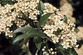 Sambucus nigra ssp canadensis 4322028.jpg