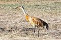 Sandhill Crane (Grus canadensis) (19730290243).jpg
