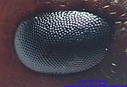 Facettenauge einer Ameise (Formica sanguinea)