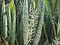 Sansevieria Trifasciata - സർപ്പപ്പോള 01.jpg
