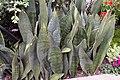 Sansevieria grandis 0zz.jpg