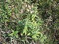 Saponaria officinalis - voll.jpg