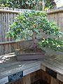 Sarasota FL Selby Gardens bonsai ficus m01.jpg