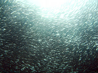 Sardine common names used to refer to various small, oily fish within the herring family of Clupeidae