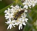 Sawfly Tenthredo species (39814180031).jpg