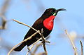 Scarlet-chested sunbird, Chalcomitra senegalensis, at Lake Chivero, Harare, Zimbabwe - male (21247792063).jpg