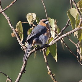 Schistochlamys ruficapillus-Cinnamon Tanager.JPG
