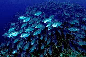 Shoaling and schooling - A school of fish has many eyes that can scan for food or threats