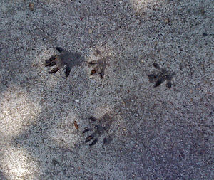 Eastern gray squirrel - Bounding tracks in concrete