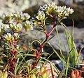 Scleranthus perennis inflorescence (14).jpg