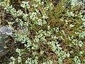 Scleranthus perennis inflorescence (26).jpg