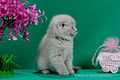 Scottish fold- straight 09.JPG