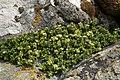 Sea Sandwort (Honkenya peploides) - geograph.org.uk - 858440.jpg