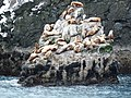 Sea lions in Kenai Fjords National Park (6777825608).jpg