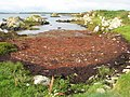 Seaweed accumulation - geograph.org.uk - 1461213.jpg