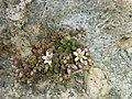 Sedum dasyphyllum (14970917160).jpg