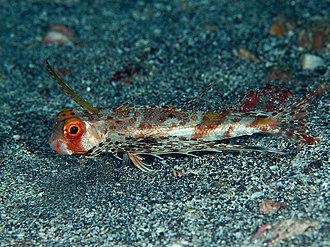 Dactylopteridae - Image: Semi HB