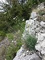 Seseli hippomarathrum sl7.jpg