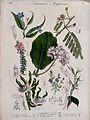 Seven garden plants, including two orchids; flowering stems Wellcome V0044692.jpg