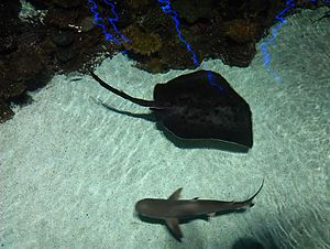 National Aquarium (Baltimore) - Shark and stingray at the National Aquarium (Baltimore)
