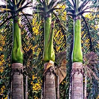 Roystonea regia - shedding of leaf in Royal palm