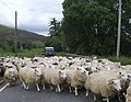 Sheep - geograph.org.uk - 492069.jpg