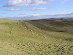 File:Sheep grazing at Alemoor Craig - geograph.org.uk - 340891.jpg