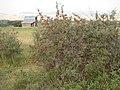 Shepherdia argentea — Matt Lavin 013.jpg