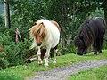 Shetland ponies - geograph.org.uk - 491777.jpg