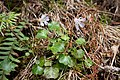 Shortia uniflora 01.jpg