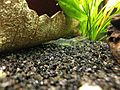 Shrimp Aquarium Pregnant 2.jpg