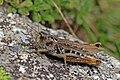 Siberian grasshopper (Gomphocerus sibiricus) female.jpg