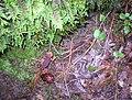 Sierra Newt, Plumas National Forest.jpg
