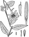 Silphium asteriscus illustration.tif