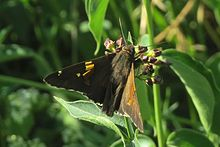 Silver-spotted Skipper, top, FWG.jpg