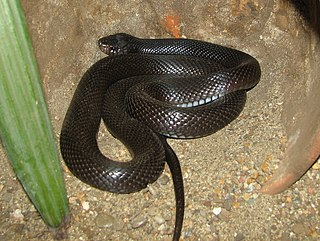 <i>Walterinnesia</i> Genus of snakes