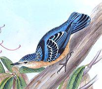 Les partes cimeres del esguilador son combinen matices azules y naranxes de les partes inferiores.