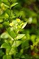 Small yellow flower (5669346928).jpg