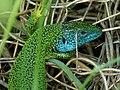 Smaragdeidechse 2011-04-24.jpg