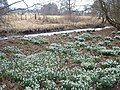 Snow drop carpet - geograph.org.uk - 1777016.jpg