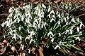 Snowdrops (Galanthus nivalis) - geograph.org.uk - 706344.jpg