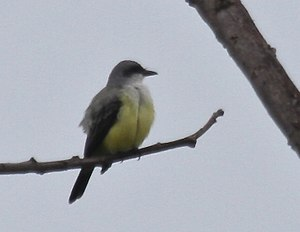 Snowy-throated kingbird - South of Guaquil, Ecuador