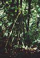 Socratea exorrhiza 1.jpg