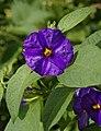 Solanum fleurs bleues FR 2012.jpg
