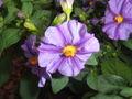 Solanum rantonnetii2.jpg