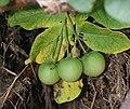 Solanum tuberosum DS1.jpg