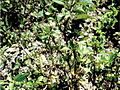 Solanum umalilaense PhytoKeys-016-065-g003G.jpg