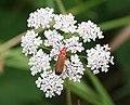 Soldier Beetle (Rhagonycha fulva) - geograph.org.uk - 910909.jpg