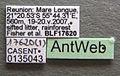Solenopsis mameti casent0135043 label 1.jpg