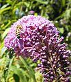 Sommerflieder mit Biene.JPG